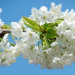 Beautiful white spring flower — Stock Photo #2820529