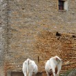 Stock Photo: Old building with cows