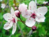 Beautiful white spring flower — Stock Photo