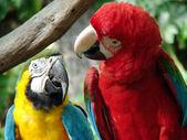 Parrots — Φωτογραφία Αρχείου