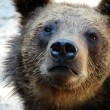 Brown bear — Stock Photo #2832763