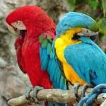 Parrots — Stock Photo #2832802