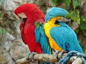 Parrots — ストック写真