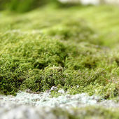 Close up of green moss — Stock Photo
