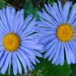 Blue flowers — Stock Photo #3367263