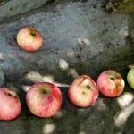Healthy Organic Apples in the garden — Stock Photo