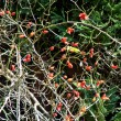 Fruits of rosehip in autumn — Stock Photo #3847651
