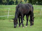 Paarden grazen — Stockfoto