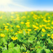 Field of early spring flowers — Stock Photo