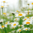 Daisy flowers in the field — Stock Photo