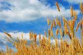 Wheat ready for harvesting — Stock Photo