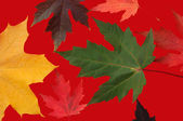 Autumn leaves on red — Stock Photo