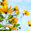 Stock Photo: Jerusalem artichoke (Helianthus tuberosus) or topinambur flo