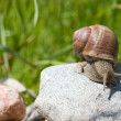 Royalty-Free Stock Photo: Snail on a stone