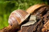 Snail on a tree bark — Stock Photo