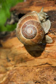 Snail on a tree bark — Stock Photo