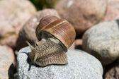 Snail on a stone — Stock Photo