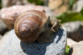Snail on a stone — Stock Photo