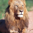 Stock Photo: Portrait lion