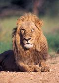 León retrato — Foto de Stock