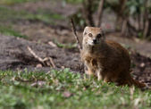 A photo of a mongoose — Stock fotografie