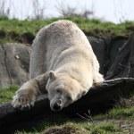 Ice bear — Stock Photo