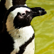 Stock Photo: Banded penguin