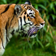 Siberian tiger (Panthera tigris altaica) — Stock Photo #2831571