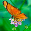 Julia Butterfly or Julia Heliconian — Stock Photo