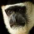 Mantled Guereza (Colobus guereza) — Stock Photo