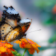 Cethosia biblis (Red Lacewing) - Stock Photo