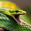 Red-tailed Green Ratsnake — Stock Photo #2831804