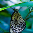 Paper Kite (Idea leuconoe) - Stock Photo
