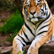 Siberian tiger (Panthera tigris altaica) — Stock Photo #2831841