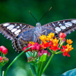 The Clipper (Parthenos sylvia) - Stock Photo