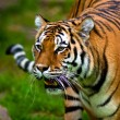 Siberian tiger (Panthera tigris altaica) — Stock Photo #2831848