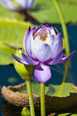 Nymphaea or Water lilies — Stock Photo