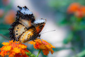 Cethosia biblis (Red Lacewing) — Stock Photo