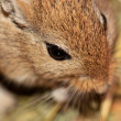 Mongoligerbils (Meriones) — Stock Photo #2843818