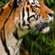 Siberian tiger (Panthera tigris altaica) — Stock Photo #2843965