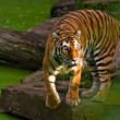Stock Photo: Siberitiger (Panthertigris altaica)