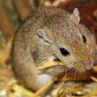 Mongolian gerbils (Meriones) - Stock Photo