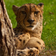 Hunting-leopard or cheetah (Acinonyx jubatus) - Stock Photo