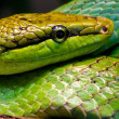 Red-tailed Green Ratsnake - Stock Photo
