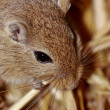 Mongoligerbils (Meriones) — Stock Photo #2846330