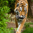 Siberian tiger (Panthera tigris altaica) — Stock Photo #2846350