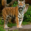 Siberian tiger (Panthera tigris altaica) — Stock Photo #2846365