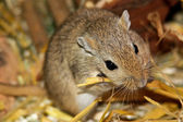 Mongolian gerbils (Meriones) — Stock Photo
