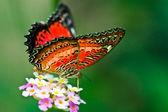Cethosia biblis (Red Lacewing) — Stock Photo