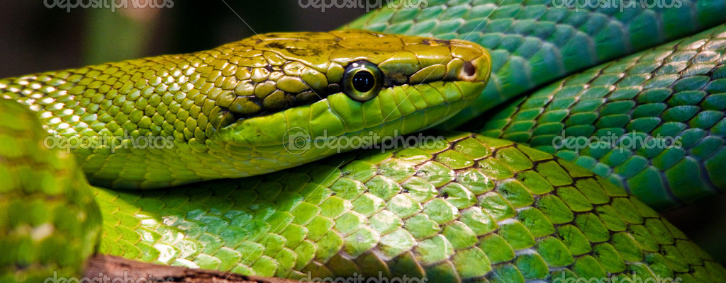 Red-tailed Green Ratsnake (Gonyosoma oxycephalum) — Stock Photo #2844767
